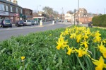 Daffodils in Crosspool precinct