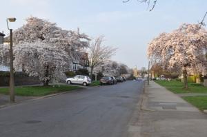 Blossom on Watt Lane