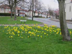 Coppice View daffodils