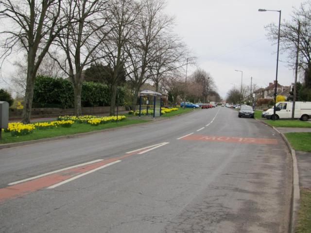 Manchester Road daffodils