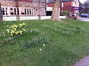 S10 daffodils on verge outside Crosspool Tavern