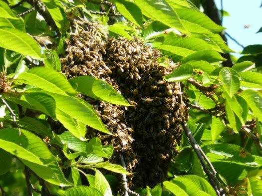 Bees in the Watt Lane cherry tree