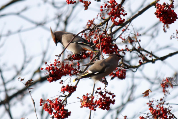 Waxwings in Crosspool © Kim Redgrave