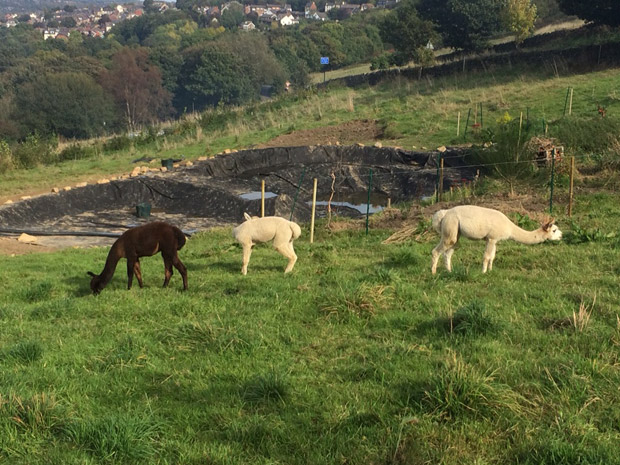 Crosspool alpacas