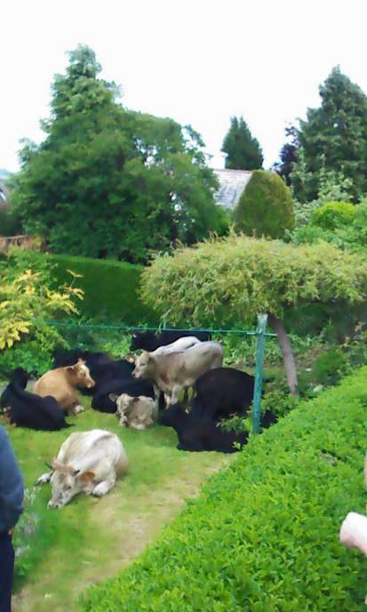 Cows on Hagg Lane (photo: Andy Forrest)