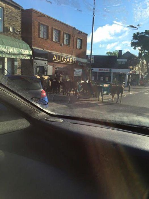 Cows in Crosspool precinct (photo: Liz Forrest)