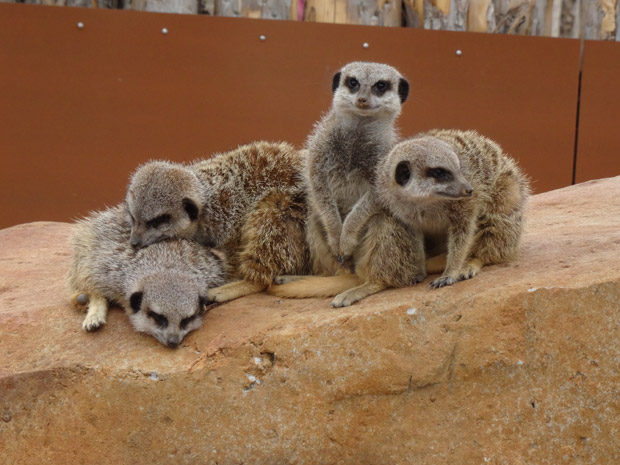 Photo 4 - meerkats. Vote for this at the bottom of the page