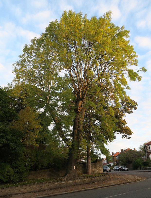 Lydgate Lane tree