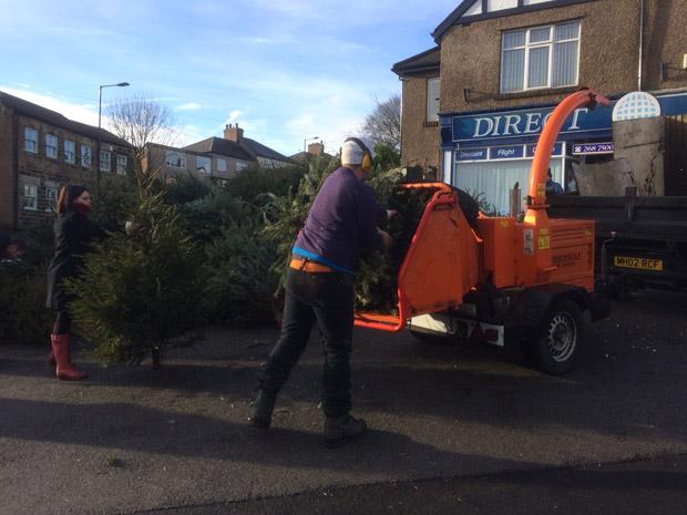 Shredding Christmas trees this morning