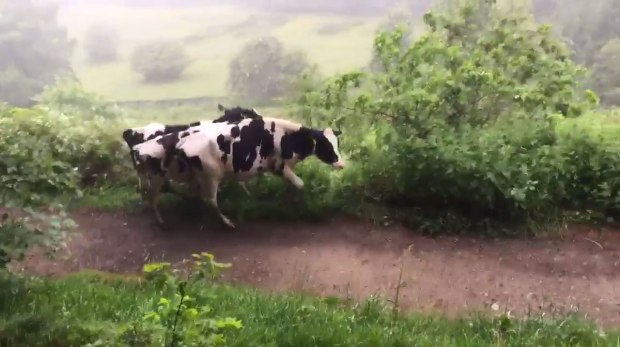 More cows on the loose in Crosspool - photo @Carniphage