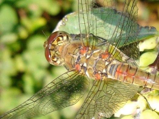Lacewing dragon